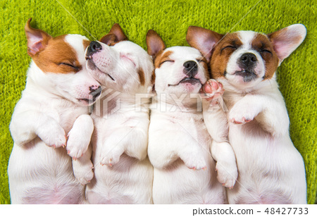 Cute puppies sleeping with their paws up on a knitted sweater. 48427733