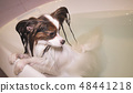 Wet Papillon dog stands in the bathroom 48441218