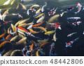 Nishikigoi著色魚魚日本鯉魚nishikigoi錦鯉廣島湖五顏六色的魚 48442806