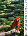 베니 잉꼬 [동물 조류] 48455984