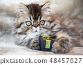 Beautiful Persian kitten cat with gift box or present 48457627