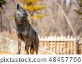 多摩动物园,Tyric Wolf(Hiroshi Wolf) 48457766