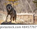 多摩动物园,Tyric Wolf(Hiroshi Wolf) 48457767