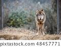 多摩动物园,Tyric Wolf(Hiroshi Wolf) 48457771