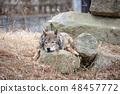 多摩动物园,Tyric Wolf(Hiroshi Wolf) 48457772