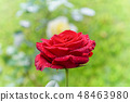 Red rose blooming on the green garden 48463980