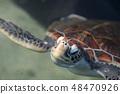 바다 거북 거북 거북 파충류 생물 바다 남국 오키나와 바다 수영 48470926