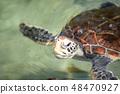 海龜綠海龜爬行動物生物海南國家沖繩海水游泳 48470927