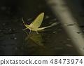 แมลงปอ Kageru แมลงแมโครขนาดเล็กสิ่งมีชีวิตแมลงฤดูร้อน 48473974