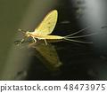 แมลงปอ Kageru แมลงแมโครขนาดเล็กสิ่งมีชีวิตแมลงฤดูร้อน 48473975