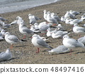 A group of urimo-moses resting at the inage coast 48497416