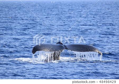 駝背鯨離開了Shimonake Cape 48498429