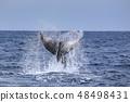 駝背鯨離開了Shimonake Cape 48498431