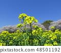 Blue sky and rape field farm cherry blossoms back 48501192