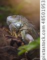 Large tree lizards of the Iguan 48501953