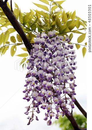 등나무꽃 48503301