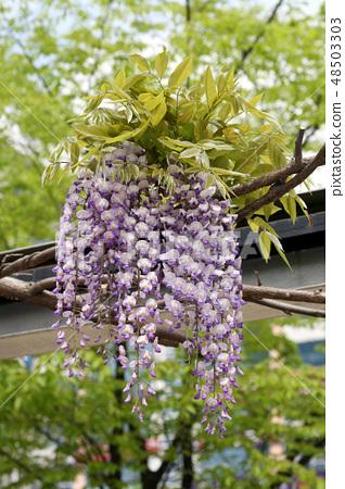 등나무꽃 48503303