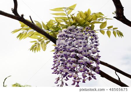 Wisteria flowers 48503675