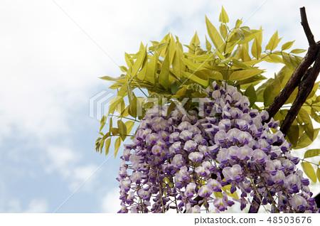 등나무꽃 48503676