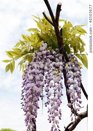紫藤花 48503677