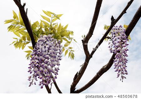 등나무꽃 48503678