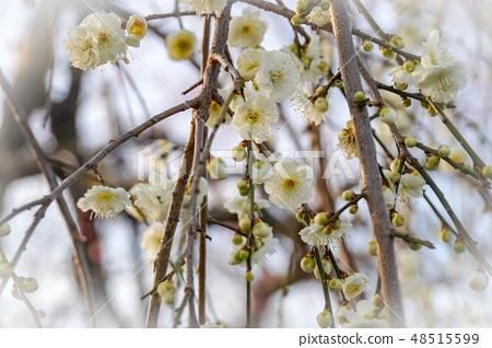 Plum blossom 48515599