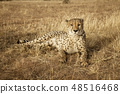 Adult cheetah lies down in dry grass 48516468