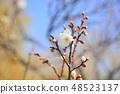 매화의 꽃 48523137