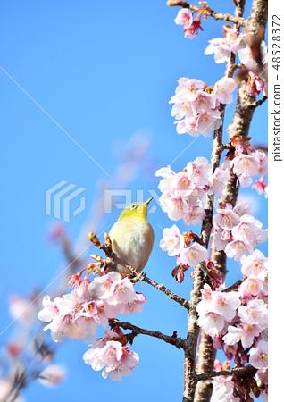 与樱桃的冷樱花 48528372