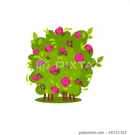 Small bush with bright pink roses. Garden plant. Green shrub with beautiful flowers. Flat vector 48532383