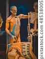 Human internal organs dummy, training dummy, detail of the uscular system 48538005