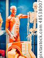 Human internal organs dummy, training dummy, detail of the uscular system 48538007
