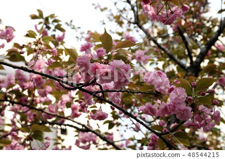 겹벚나무 48544215