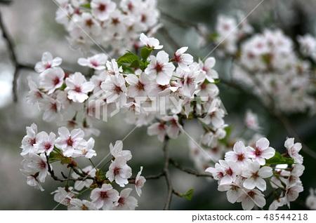 벚나무 48544218