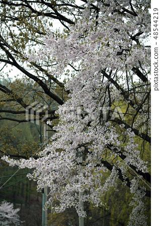 벚나무 48544219