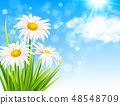 White daisy flowers and green grass 48548709