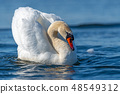 Swan on blue lake water in sunny day 48549312