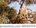 나무 타기 염소 48560559