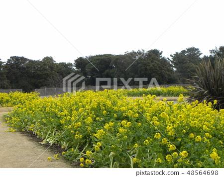 早期开花的Nabana在12月开始开花 48564698