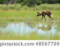 African wild dog, walking in the lake 48567799