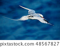 Red-billed Tropicbird, rare bird from Trinidad 48567827
