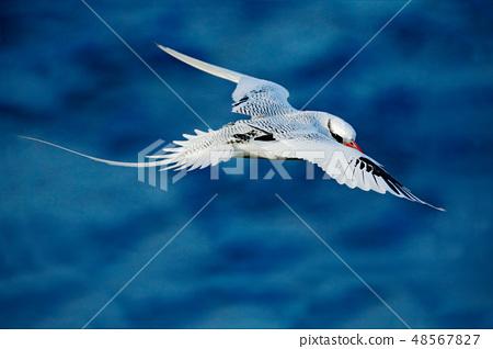Red-billed Tropicbird, rare bird from Trinidad 48567827