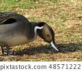 Inagakamo離開Inagihama公園的池塘,尋找草坪飼料 48571222
