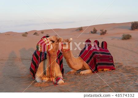 沙漠和駱駝 48574332