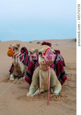 沙漠和駱駝 48574336