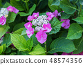 Beautiful flower bright pink hydrangea. Close up 48574356