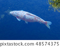 Koi Carp, Japanese big fish, underwater in garden 48574375