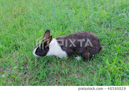 兔子在草地上 48580829