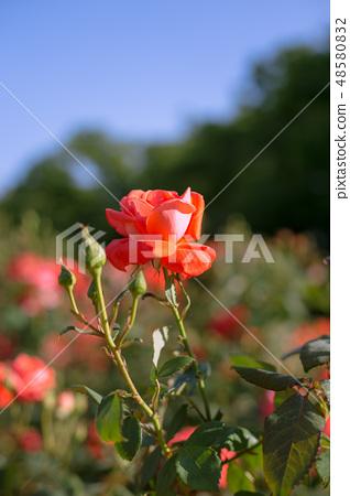 빨간색의 꽃 48580832