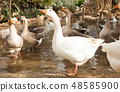 Domestic geese on pond 48585900